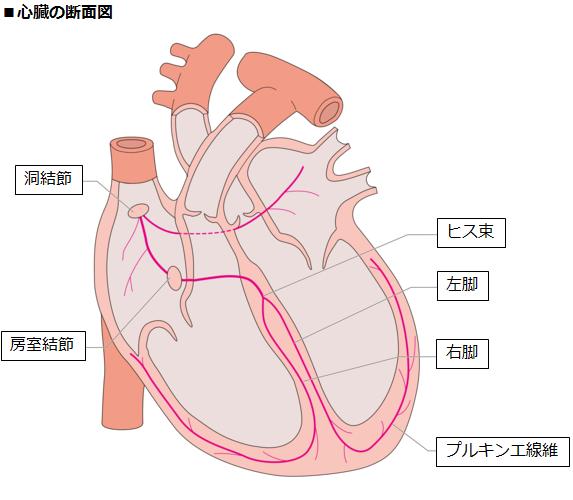 心臓の断面図